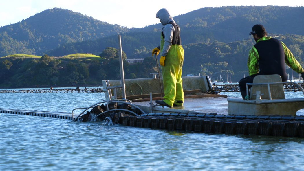 oyster flip farming in Marlborough Sounds