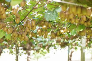 Cracking the Code to Kiwifruit Pollination Success